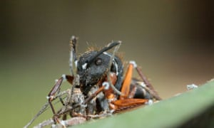 A zombie ant