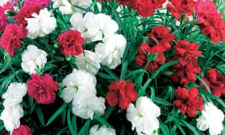 Plant of the week: Pinks