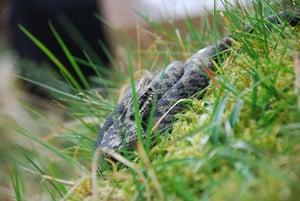 adder testing: genetic survey of the UK's only venomous snake