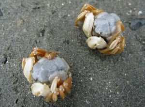 week in wildlife: Newly discovered crab species in Thailand