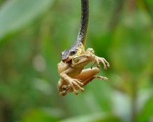 week in wildlife: Snake eats tree frog, Ecuadorian Amazon Basin, Ecuador - Feb 2011