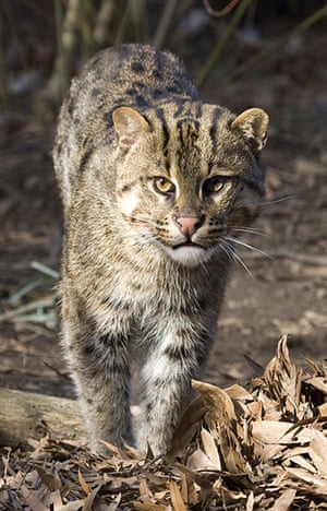 week in wildlife: One-year-old male fishing cat f