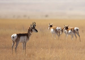 week in wildlife:  pronghorn antelope