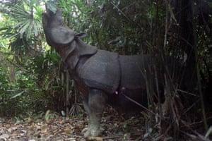 week in wildlife: Indonesia rhino