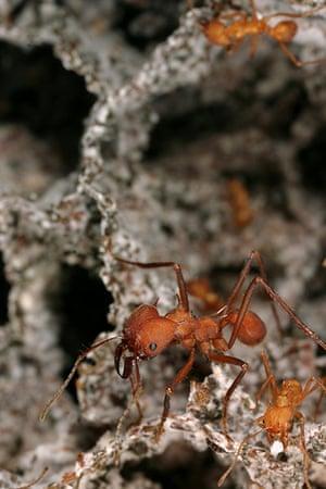 week in wildlife: Texas leafcutter ants
