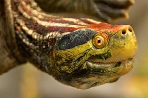 week in wildlife: 25 most endangered turtles and tortoises