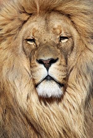 week in wildlife: Lion