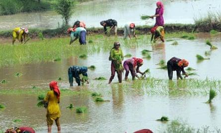 Women plant rice in Pakistan 9/7/2010