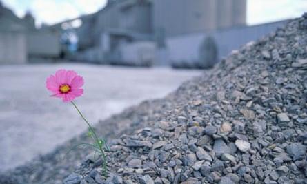 Single cosmos flower amongst stones for Leo Blog