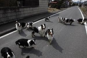 Fukushima disaster: 7 April: Dogs wander around a town of Minami Soma
