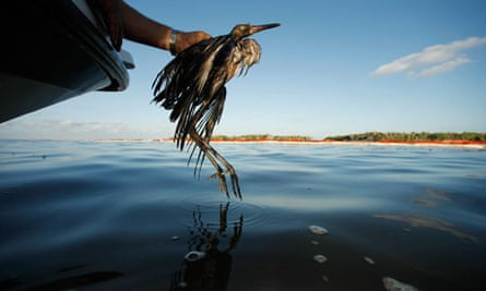 A bird covered with oil is rescued from the waters of Barataria Bay after the Deepwater oil spill