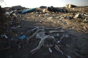 Fukushima exclusion zone: 12 April: The body of dog lies within the exclusion zone