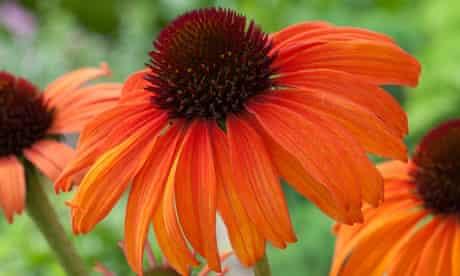 Plant of the week: Echinacea 'Tangerine dream'