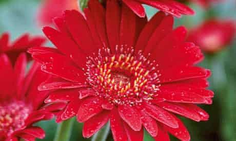 Plant of the week: Gerberas