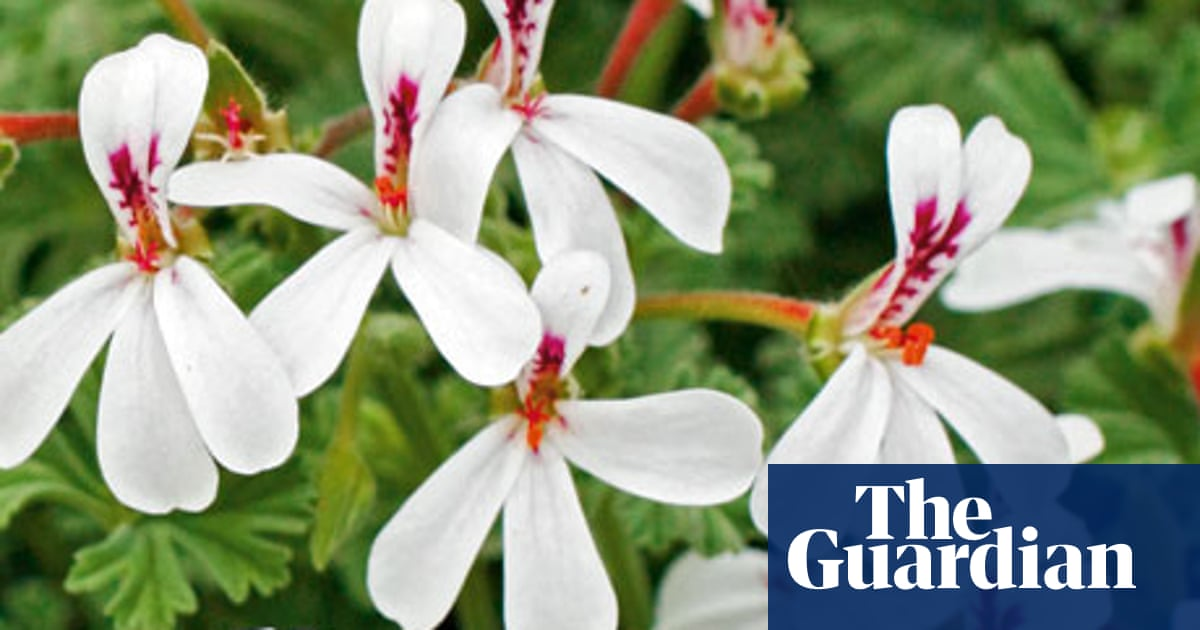 Gardens Scented Pelargoniums Life And Style The Guardian