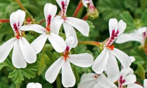 Gardens: Scented pelargoniums