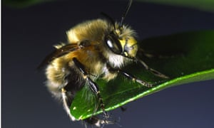 Hairy footed flower bee. Image shot 05/2007. Exact date unknown.