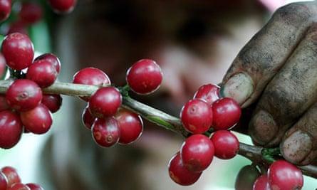 Coffee picking in Costa Rica