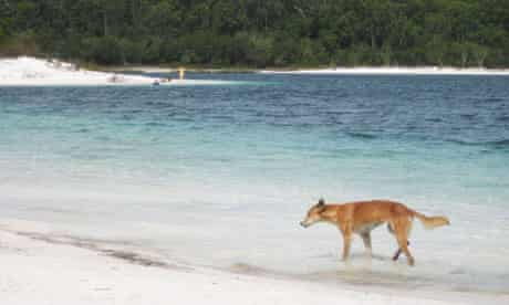 Dingoes attack three-year-old girl