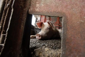 24 hours: A pig rests in its enclosure at a private farm in Havana