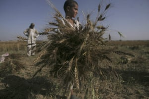 24 hours: A boy collects wheat during the harvest season in Pakistan