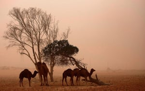 24 hours: Camels in a sand storm