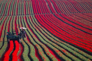 24 hours: Workers harvest tulips in a field in Germany