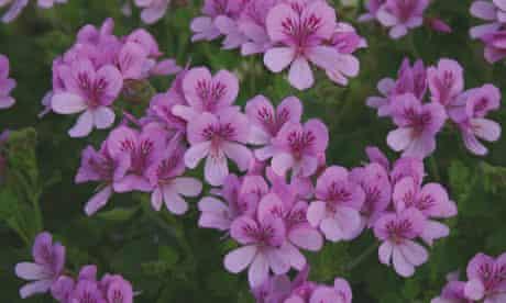 Plant of the week: Geranium