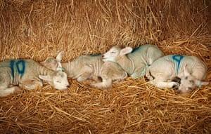 Lambing season begins: Newborn lambs sleep on fresh straw at Barracks Farm