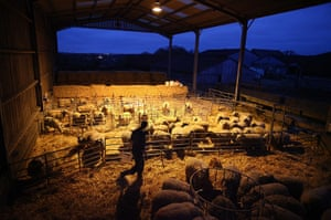Lambing season begins: Stockman Chaz Eastmond-Roberts feeds ewes and their lambs at first light