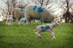 Lambing season begins: Newborn lambs play after being released into a field for the first time