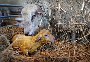 Lambing season begins: A ewe licks her lamb seconds after giving birth