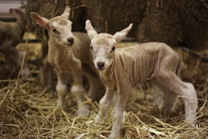 Lambing season begins: Newborn lambs stand for the first time