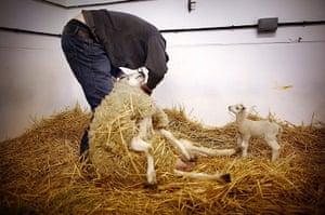 Lambing season begins: A newborn lamb watches as farm worker Ian Watt tags a ewe