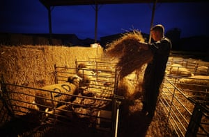 Lambing season begins: Stockman Chaz Eastmond-Roberts gives hay to ewes and their newborn lambs