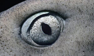 """Eye quiz: A close-up view of an eye of Whitetip Reef Shark"""