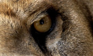"""Eye quiz: A close-up view of an eye of Lion"""
