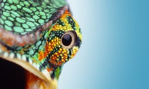 """Eye quiz: A close-up view of an eye of a Chameleon"""