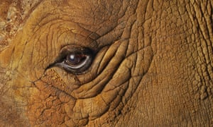 """Eye quiz: A close-up view of an eye of a white rhinoceros"""