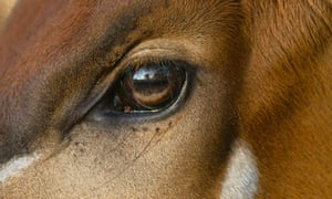 """Eye quiz: A close-up view of an eye of a Bongo antelope"""
