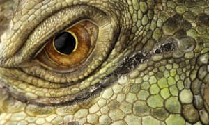 """Eye quiz: A close-up view of an eye of a Green Iguana"""
