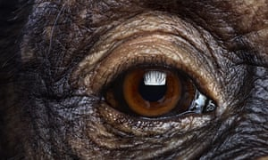 """Eye quiz: A close-up view of an eye of amale chimpanzee"""