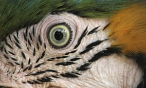 """Eye quiz: A close-up view shows an eye of a Blue-and-yellow Macaw, or Ara ararauna"""