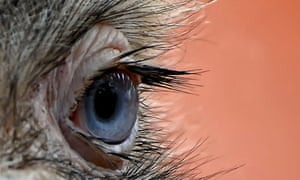 """Eye quiz: A close-up view of an eye of an ostrich"""