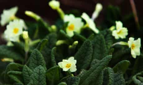 spring primroses stock
