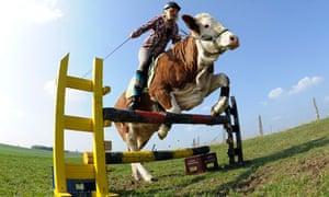 Regina Mayer jumps a hurdle with her cow Luna.