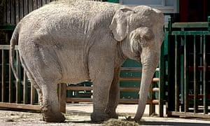 Anne the elephant at Longleat Safari Park.