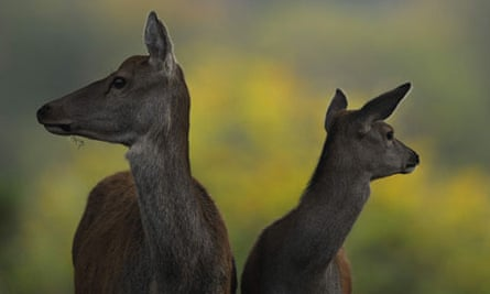Deer are seen during their rutting season in the Studley Royal park near Ripon