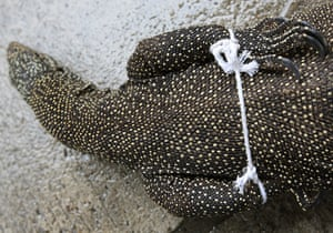24 hours in pictures: Thai customs seize smuggled Bengal Monitor lizard