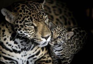 24 hours in pictures: A jaguar, and her cub in Managua zoo